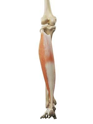 Calf Muscle Art Print by Sciepro
