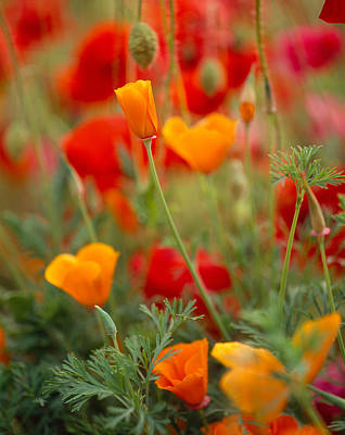 Poppy Beauty Photograph - California Golden Poppies Eschscholzia by Panoramic Images