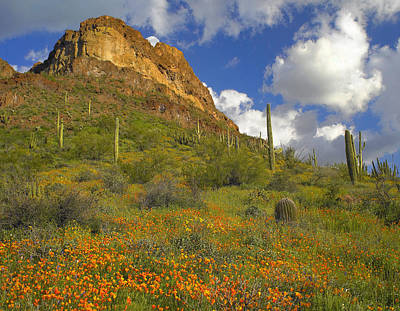California Poppies In Arizona Art Print by Tim Fitzharris