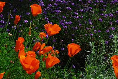 Poppies Photograph - California Poppies by Lynn Bauer
