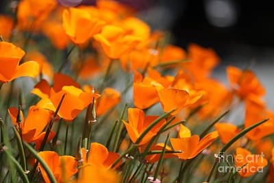 Photograph - California Poppies by Nicholas Burningham