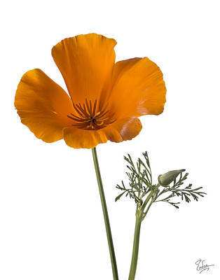 Photograph - California Poppy by Endre Balogh