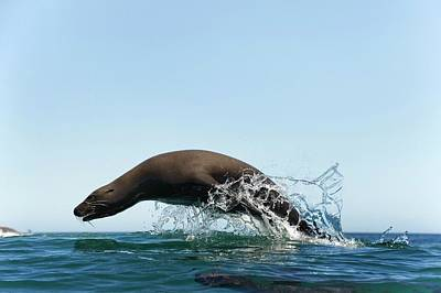 California Sea Lions Photograph - California Sea Lion by Christopher Swann