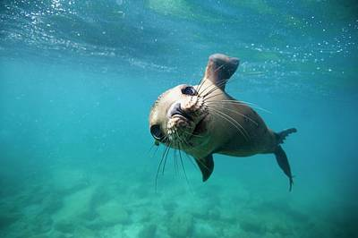 California Sea Lions Photograph - California Sea Lion Pup by Christopher Swann