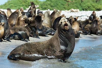 California Sea Lions Photograph - California Sea Lions by Christopher Swann
