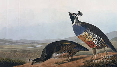 Drawing - Californian Partridge by Celestial Images