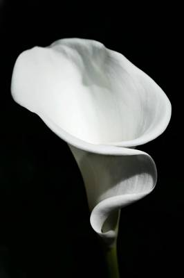 Pdx Photograph - Calla Lilly by Cathie Tyler