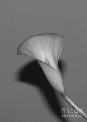 Professional Photograph - Calla Lily by Cheryl Aguiar