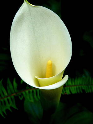 Photograph - Calla Lily by Jeff Lowe