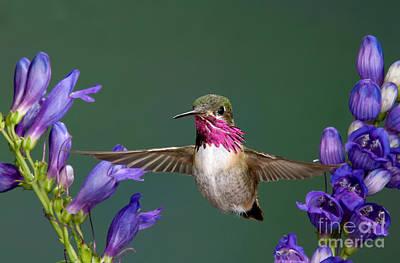 Calliope Hummingbird Stellula Calliope Art Print by Anthony Mercieca