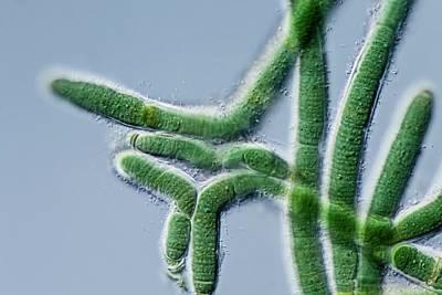Algal Photograph - Calothrix Cyanobacterium by Gerd Guenther