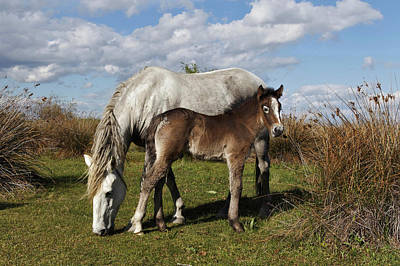 Foal Photograph - Camargue Horse Foal With Mother by Adam Jones