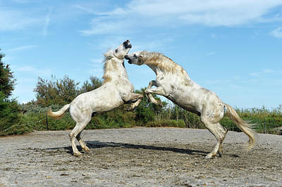 Bite Photograph - Camargue Horses by Dr P. Marazzi