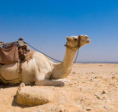 Camel Wall Art - Photograph - Camel In Desert by Konstantin Kalishko