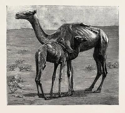 Camels From El-teb, Soudan Sudan Art Print by African School