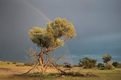 Camelthorn Trees In The Auob Riverbed Art Print by Tony Camacho