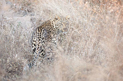Camouflaged Leopard Art Print by Christa Niederer