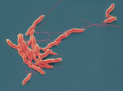 Scanning Electron Microscopy Photograph - Campylobacter Jejuni Bacteria by Steve Gschmeissner