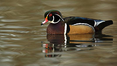 Wood Duck Photograph - Canada, British Columbia, George C by Rick A Brown