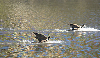 Caravaggio - Canada Geese Landing by Roy Williams