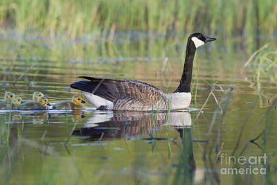 Canada Goose And Goslings Art Print