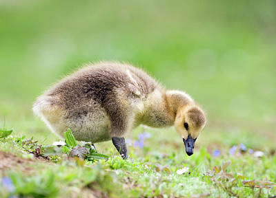 Baby Geese Wall Art - Photograph - Canada Goose by John Devries/science Photo Library
