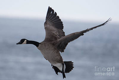 Photograph - Canada Goose by Ronald Grogan