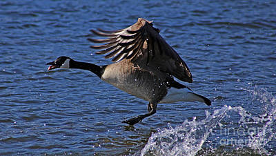 Painting - Canada Goose Taking Flight by Sue Harper