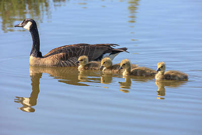 Baby Bird Photograph - Canada Goose With Chicks by Tom Norring