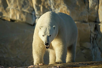 Marble Eyes Photograph - Canada, Nunavut Territory, Polar Bear by Paul Souders