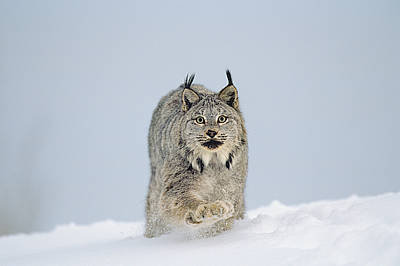 Photograph - Canadian Lynx by Thomas And Pat Leeson