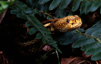 Canebrake Photograph - Canebrake Rattlesnake by John Bell