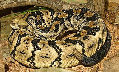 Timber Rattler Photograph - Canebrake Rattlesnake by Millard H. Sharp