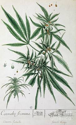 Herbal Painting - Cannabis  by Elizabeth Blackwell