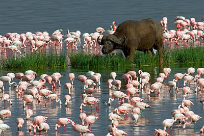 Cape Buffalo And Lesser Flamingos Art Print by Panoramic Images