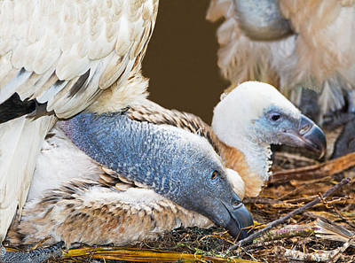 Photograph - Cape Griffin Vulture Adult And Nestling by Millard H. Sharp