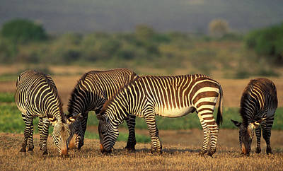 Photograph - Cape Mountain Zebra by Nigel Dennis