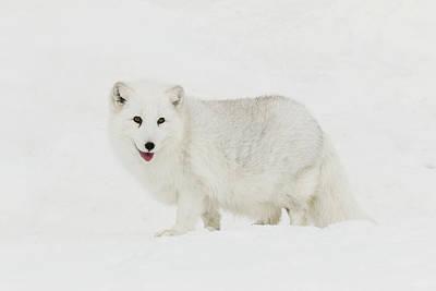 Arctic Fox Photograph - Captive Arctic Fox In Snow, Montana by Adam Jones