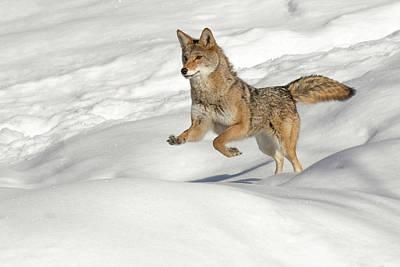 Captive Coyote Running On Snow, Montana Art Print