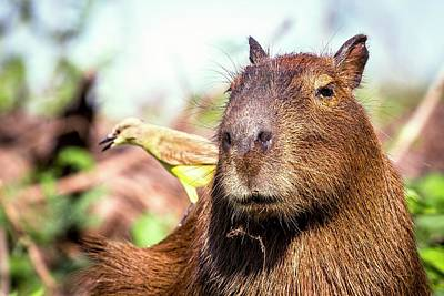Capybara And Cattle Tyrant Art Print by Paul Williams