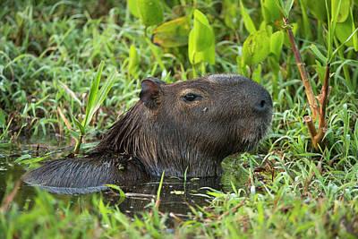 Mato Photograph - Capybara (hydrochoerus Hydrochaeris by Pete Oxford