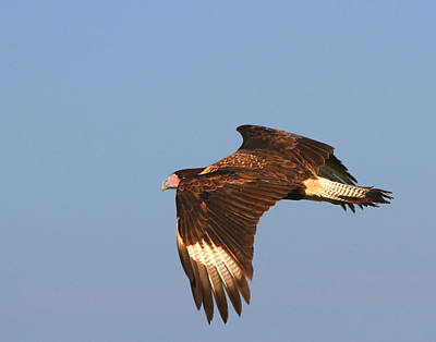 Photograph - Caracara In Flight by Ira Runyan