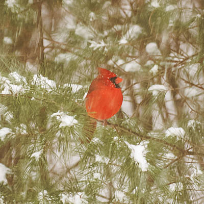 Photograph - Cardinal In Snow Storm by Frank Winters