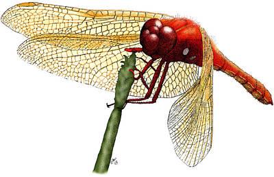 Cardinal Meadowhawk Dragonfly Art Print by Roger Hall