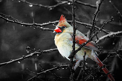 Photograph - Cardinal On A Rainy Day by Trina  Ansel