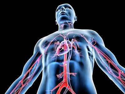 Organ Photograph - Cardiovascular System by Pasieka
