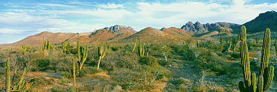 Baja Photograph - Cardon Cactus Pachycereus Pringlei by Panoramic Images