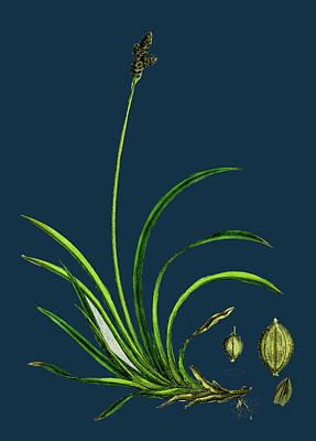 Stiff Drawing - Carex Rigida Stiff Mountain Sedge by English School