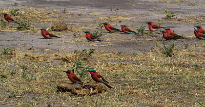 Of Birds Photograph - Carmine Bee-eaters Merops Nubicoides by Panoramic Images