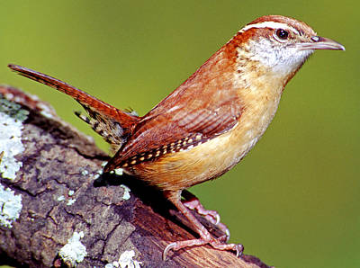 Photograph - Carolina Wren Thryothorus Ludovicianus by Millard H. Sharp